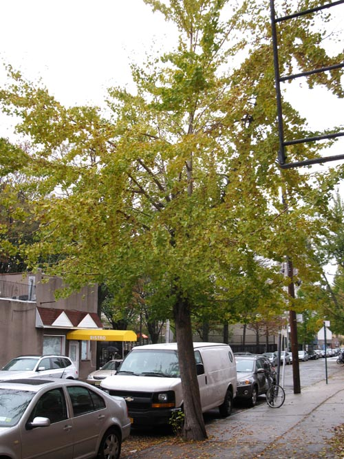Ginkgo Nuts: Female Ginkgo Tree, 49th Avenue, Hunters Point, Long Island City, Queens, November 8, 2010