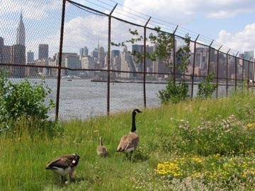 Family of Geese, Greenpoint, Brooklyn, June 14, 2005
